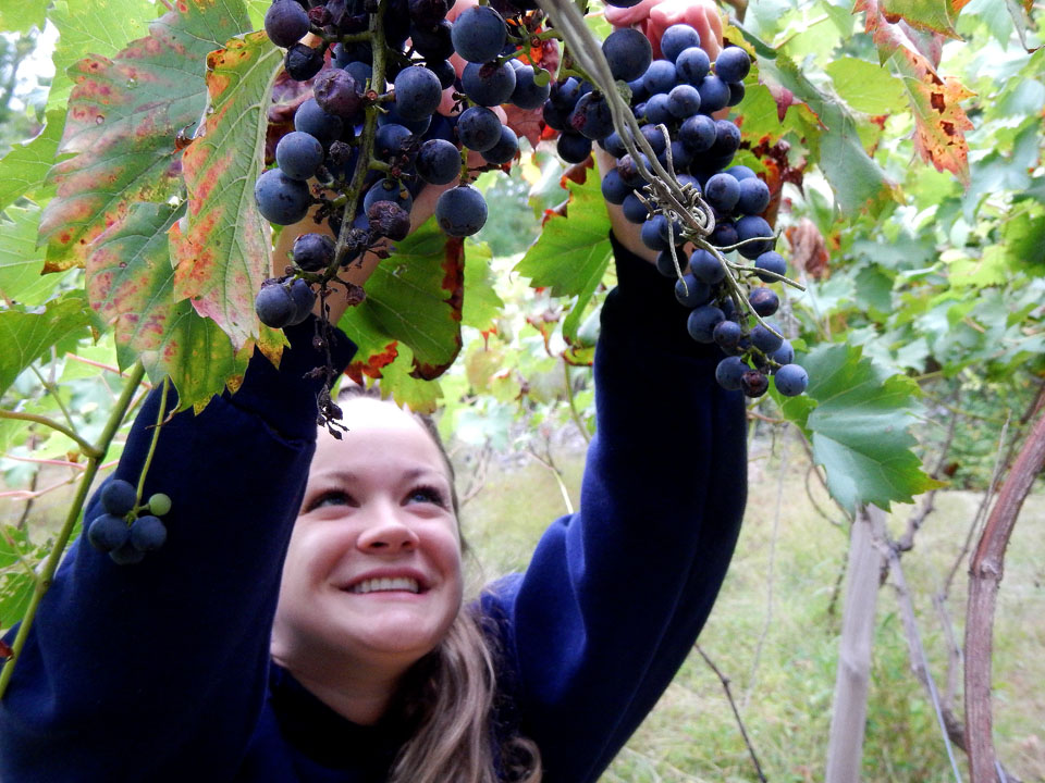 A customer picking grapes during Mountain View Vineyard's annual grape harvest in the Pocono Mountains.
